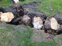 Tree stumps for firewood