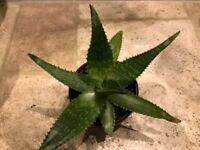 Aloe plant (No 1)