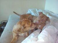 beautiful american bully x french mastiff