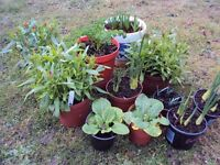 PLANTS, VARIETY OF PLANTS FROM 50P EACH, PRIMROSES, SNOWDROPS, DIANTHUS, MINI DAFFS ETC
