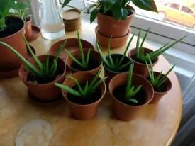 Baby Aloe Vera Plants
