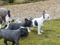 KC French Bulldog Puppy