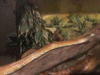 Lovely orange corn snake free to a good home, including vivarium, heat mat and all accessories