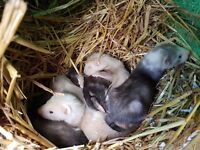 Ferret kits ready to reserve