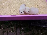 Ferret kits for sale 8 weeks old both hobs. Handled daily £5 each (no delivery). Bassaleg Newport