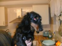 kc reg long-haired standard dachshund puppys [READY NOW]