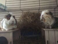 Guinea Pigs looking for new home