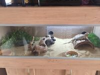 Bearded Dragon and Vivarium tank with full set up