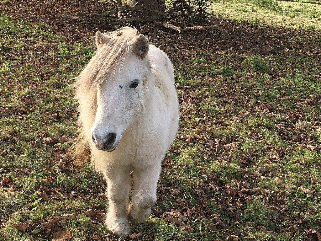 Stunning Shetland Pony