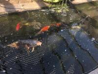Five koi carp one gold fish two tench fish