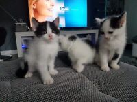 3 black and white kittens NOW ONLY 1 LEFT