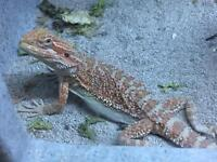Baby female bearded dragon