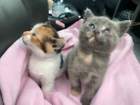 maine coon X ... two black and white and two tortoiseshell