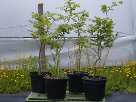 BEECH HEDGING 3LT POTTED 2FT TALL PLANT 4-6 PER METRE FANTASTIC VALUE