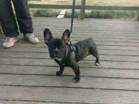 French bulldog, absolutely adorable,only boy left!!