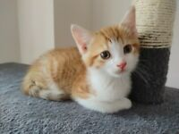 Ginger kitten is looking for his new family