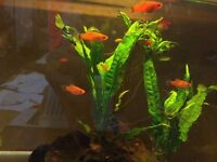 young Swordtails tropical fish 2 to 4cm peaceful and lively