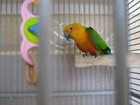 Janday Conure With Large Cage