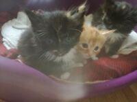 Beautiful kittens ready in 2 weeks