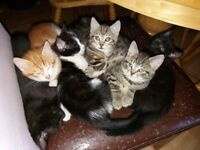 £25 KITTENS 1 Male and 1 Female