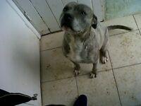 xl blue staffy dog