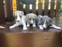 Pedigree whippet puppies