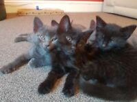 Adorable Smokey Tabby and Silver Female kittens
