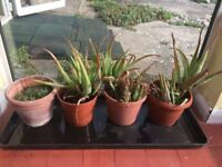 collection of medicinal grade aloe vera plants and terracotta pots