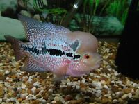 "8 to 9"" long flowerhorn chiclid.electric blue."
