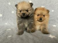 KC Pomeranian Puppies