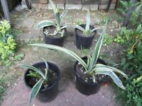Agave plants for house and garden