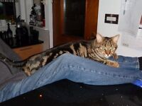 Male Marble Bengal Missing