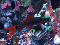 2x Red shark fish (non aggressive)