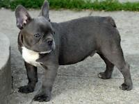 Blue Male French Bulldog Puppy for Sale