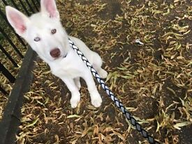 8 month husky
