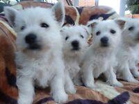 west highland terrier puppies boys ''girls