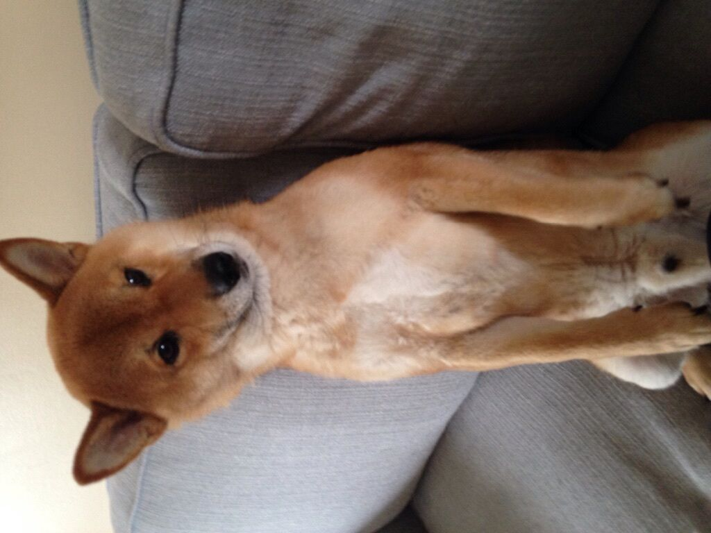 3 year old male shiba inu dog for sale Liverpool | in ...