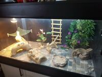 Bearded dragon, viv&accessories