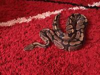 Royal Python and viv