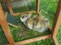 Dwarf rabbit male