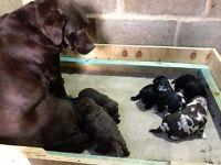 Labradoodle Miniature Puppies