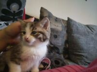 Male Kitten for sale to a good home £60