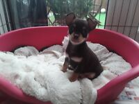 Chocolate chihuahua puppies ( 1 left )