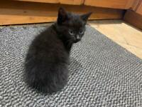 1 Playful Black Kitten for sale!!! Beautiful temperaments!