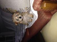 Puppy girl shorkie