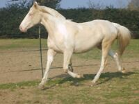 stunning lucitano mare 15.1hh for loan on present yard or possible sale