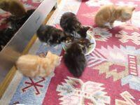 kitten for sell