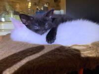 Sweet little Egyptian Maui cross kitten