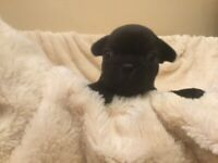 RARE Solid Jet Black French Bulldog girl puppy £4000 other colours available