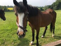 2 Beautiful Bay Mares to go to good home